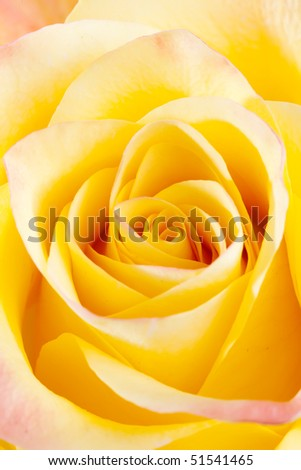Close up of blooming yellow rose - stock photo