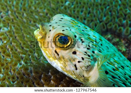 close up of blowfish underwater in ocean agains coral - stock photo