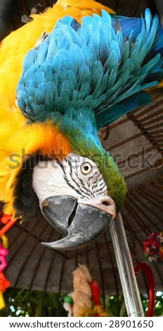 Close up of blue and gold macaw parrot clowning on his perch. He is hanging upside down and looking directly at the viewer. Bars of his cage are visible in the background. Vertical composition - stock photo