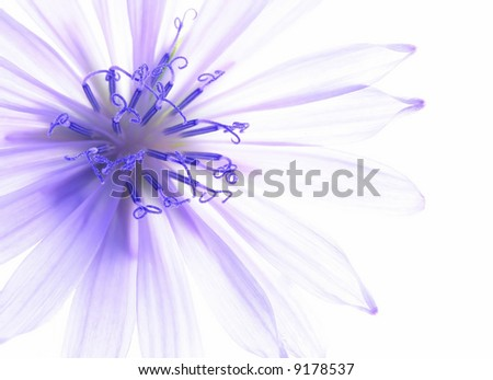 Close-up of blue corn flower with white background - stock photo