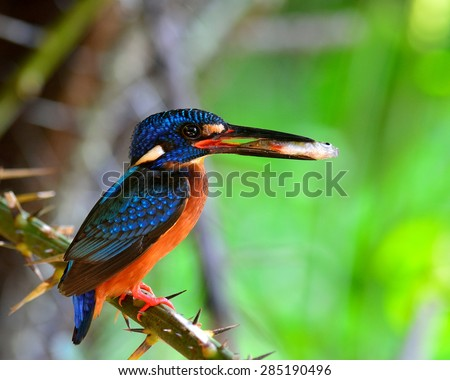 Close up of Blue-eared kingfisher, the little blue bird carrying fish in her mouth to feed the chicks in the nest hole