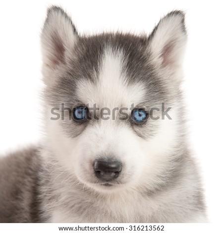Close up of blue eyes siberian husky puppy on white background isolated - stock photo
