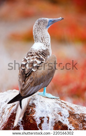 Close up of blue footed booby at Galapagos island of  North Seymour - stock photo