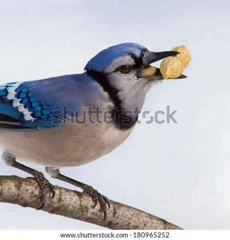 Close up of blue jay foraging in the snow and with a peanut in his beak - stock photo