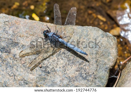 Close up of blue marsh hawk (Orthetrum glaucum) dragonfly on the rock in nature, Thailand, dorsal view