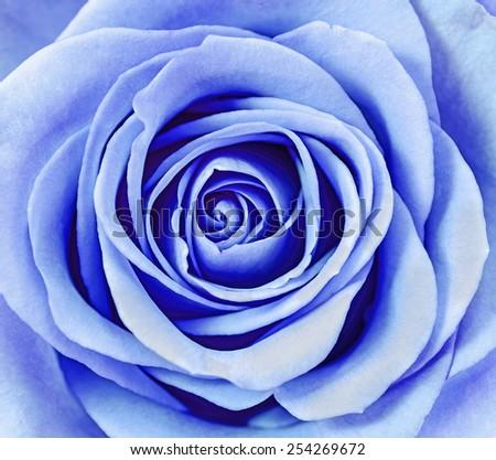 Close up of blue rose petals. - stock photo