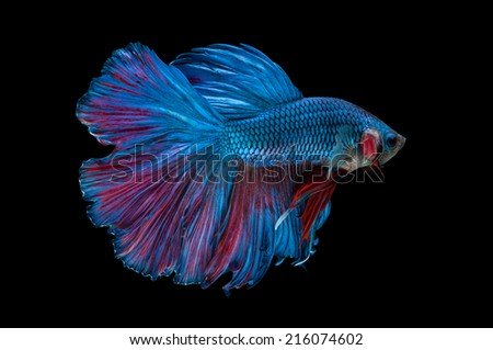 close-up of blue siamese fighting fish (betta splendens) isolated on black background - stock photo