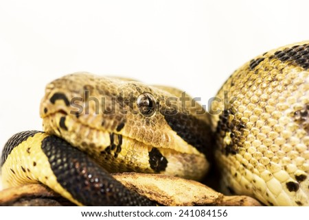 Close up of Boa Constrictor snake - stock photo