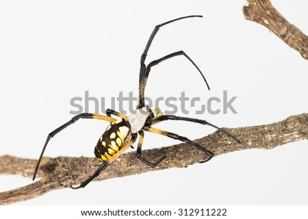 Close up of boldly coloured Argiope garden spider as spins web on dead twig.