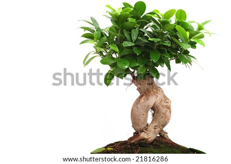 Close up of bonsai tree on white background