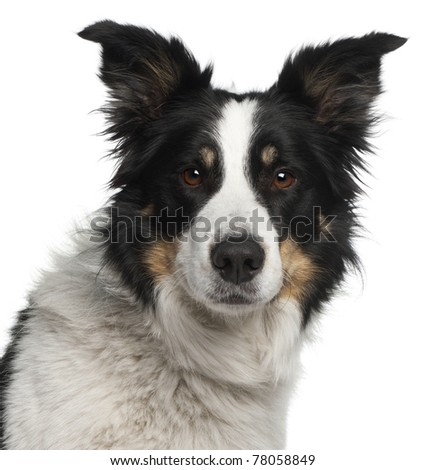 Close-up of Border Collie, 5 and a half years old, in front of white background - stock photo
