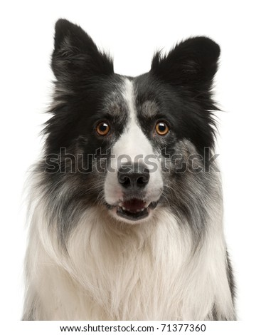 Close-up of Border Collie in front of white background - stock photo