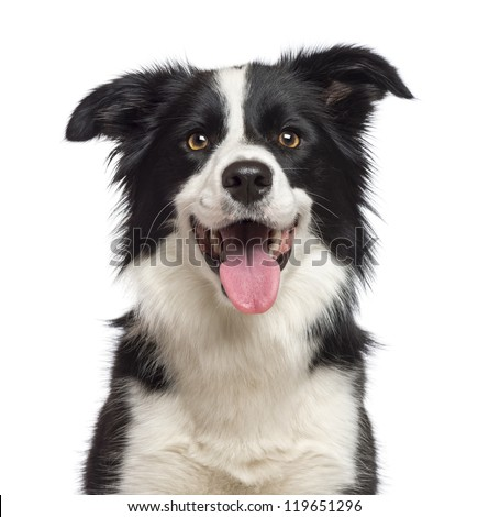 Close-up of Border Collie, 1.5 years old, looking at camera against white background - stock photo