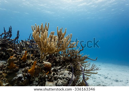 Close-up of branch corals on tropical reef in clear blue Caribbean sea