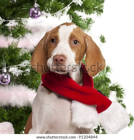 Close-up of Braque Saint-Germain puppy, 3 months old, with Christmas gifts in front of white background