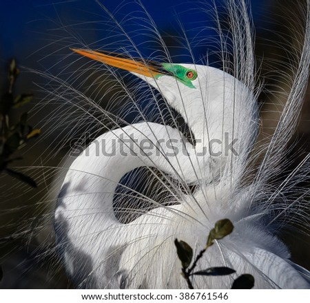 Close up of breeding colors of white egret - stock photo