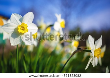 Close-up of bright blooming daffodils on the blurred nature and blue sky background. Flowering narcissus. Spring flowers. Shallow depth of field. Selective focus. - stock photo
