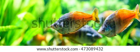 Close-up of bright fish swimming in aquarium against of green