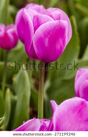 Close up of bright pink tulips in tulip field on flower bulb farm - stock photo