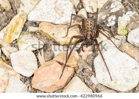 Close up of British House Spider (Tegenaria duellica) . Macro taken outdoors on stones - stock photo