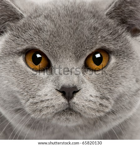 Close-up of British Shorthair Cat, 8 months old - stock photo
