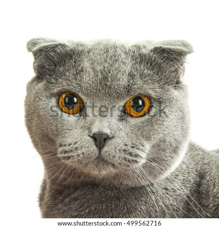 close up of British shorthair grey cat, isolated on white