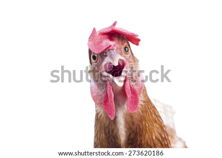 close up of brown chicken head open mouth surprising emotion  isolated white background,funny animals theme - stock photo