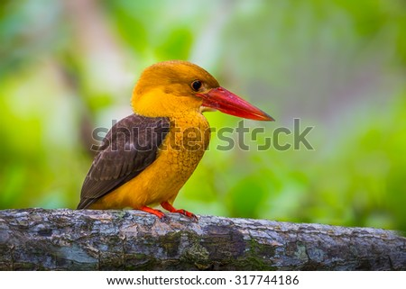 Close up of  Brown-winged Kingfisher (Halcyon amauroptera) in real nature at at Ngao Mangrove Research Center, Ranong,Thailand - stock photo