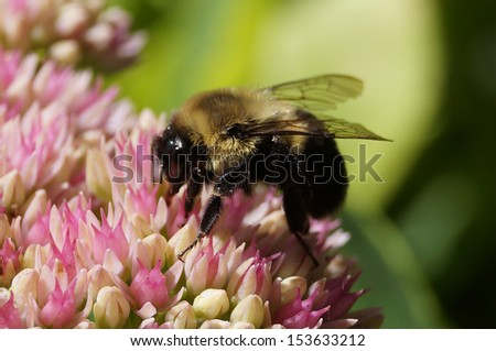 close up of Bumblebee sitting on wild flower - stock photo