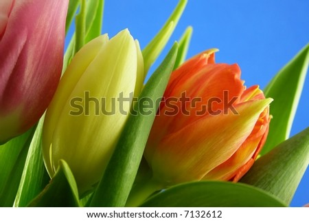 close-up of bunch of colourful tulips against blue background