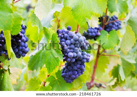 Close-up of bunch of grapes at vineyards plant. Languedoc-Roussillon, France
