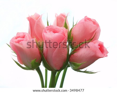 Close-up of bunch of pink roses on white background - stock photo