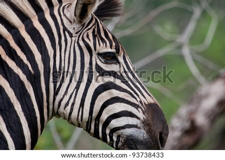 Close up of Burchell's Zebra (equus quagga burchellii) in Hluhluuwe iMfolozi park South Africa - stock photo