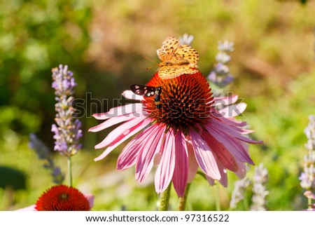 Close up of Butterfly on Echinacea flower in the spring season - stock photo