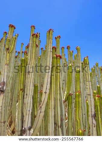 Close up of cactus texture background, Gran Canaria in the Atlantic Ocean, Canary Islands in  Spanish archipelago, Spain, Europe - stock photo