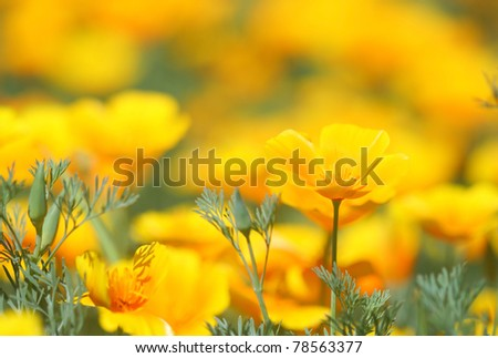 Close-up of California Poppy; - stock photo