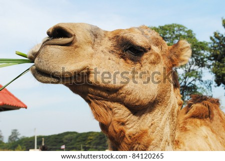 Close up of camel is eating grass - stock photo