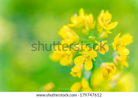 Close-up of canola or rapeseed blossom (Brassica napus) - stock photo