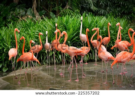 Close up of caribbean flamingos (Phoenicopterus ruber), selective focus.