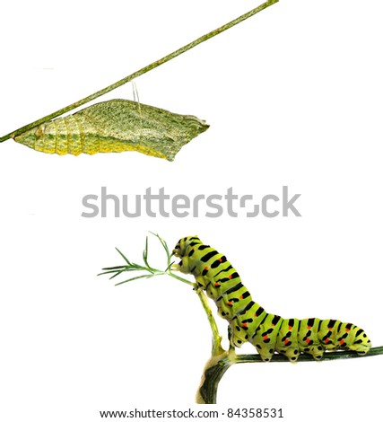 Close up of caterpillar and its pupae - stock photo