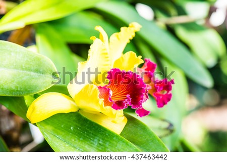 Close Up of Cattleya Orchid, Thailand - stock photo