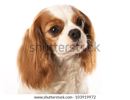 Close-up of Cavalier King Charles Spaniel,  in front of white background