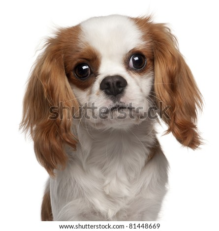 Close-up of Cavalier King Charles Spaniel, 9 months old, in front of white background - stock photo