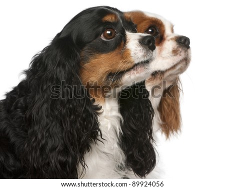 Close-up of Cavalier King Charles Spaniels, 2 and 3 years old, in front of white background - stock photo