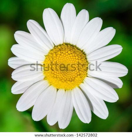 Close up of chamomile flower - stock photo