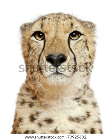 Close-up of Cheetah, Acinonyx jubatus, 18 months old, in front of white background - stock photo