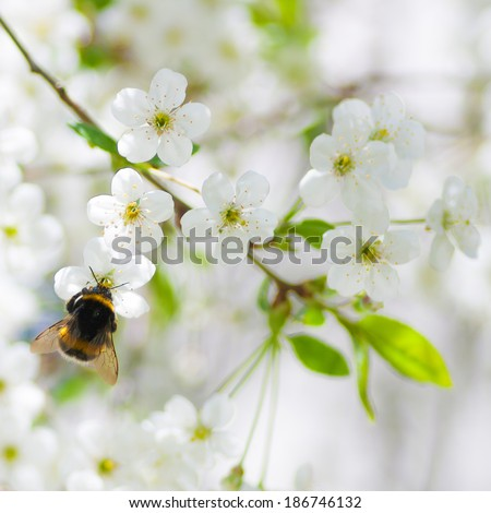 Close up of cherry blossom flowers and a bumblebee in the early sunny spring morning - stock photo