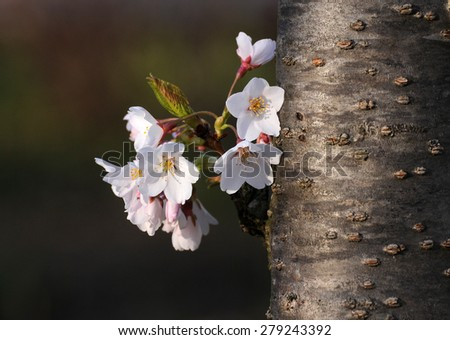Close up of cherry blossoms growing from trunk of Japanese cherry tree at Tidal Basin in Washington, D.C. - stock photo