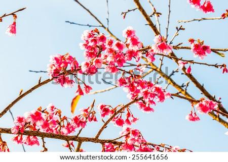 Close Up of Cherry Blossum at Chiangmai Province, Thailand - stock photo
