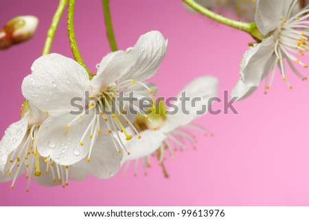 Close-up of cherry tree flowers in detail on pink background - stock photo